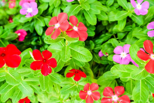 Fiore rosa pervinca rosso porpora colorato