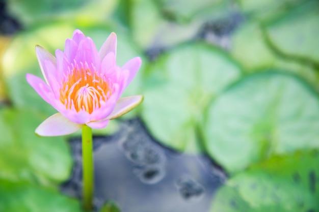 Fiore rosa sbocciante della ninfea (loto) nel fondo verde dello stagno