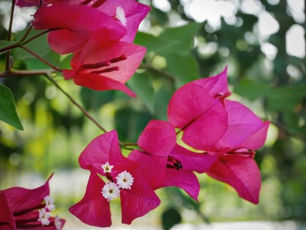 Fiore rosa vibrante del primo piano della buganvillea al giardino