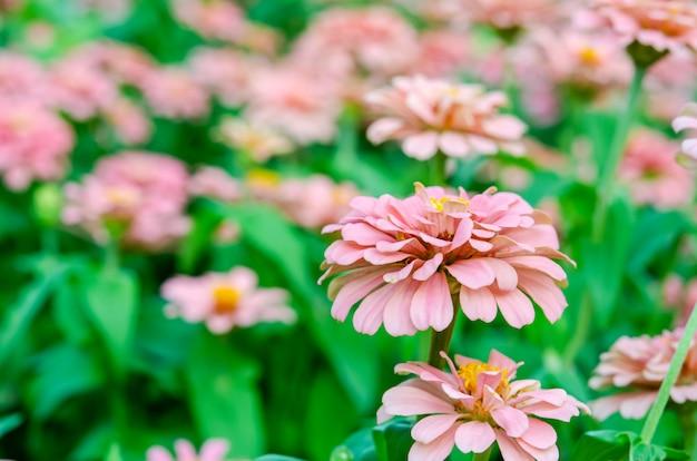 Fiore rosa zinnia