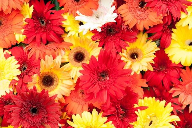 Fiore rosso del crisantemo nel paese tropicale del giardino