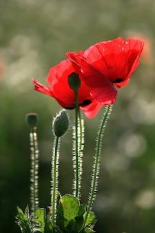 Fiore rosso del papavero sul fondo verde della natura