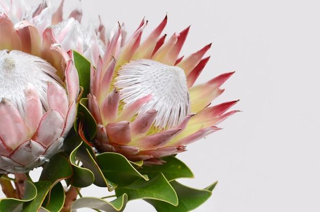 Fiore rosso del protea isolato su una priorità bassa bianca