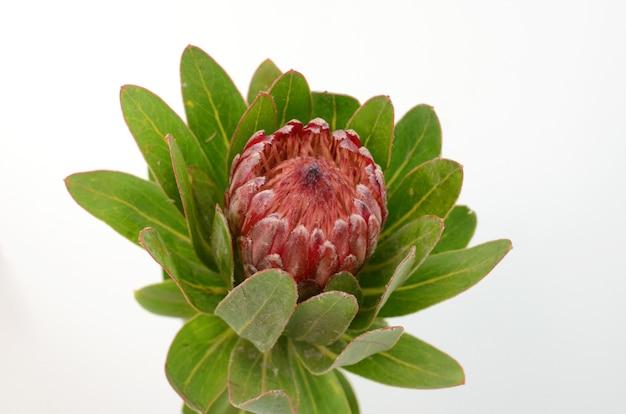 Fiore rosso del protea su un backgroud isolato bianco