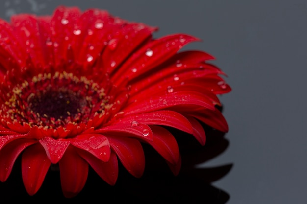 Fiore rosso della gerbera del primo piano con le gocce di pioggia