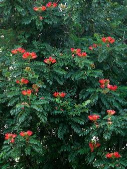 Fiore rosso di fioritura africano di tuliptree (spathodea campanulata) sull'albero. repubblica dominicana.