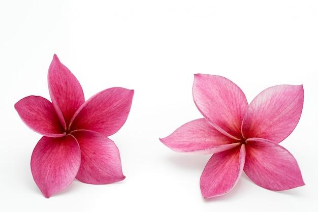 Fiore rosso di plumeria isolato
