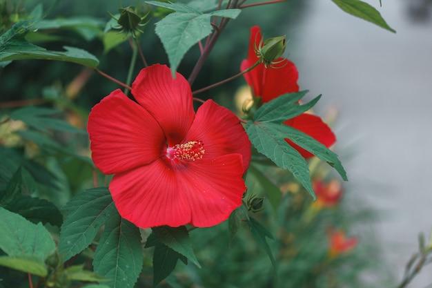 Fiore rosso rosa cinese. ibisco hawaiano