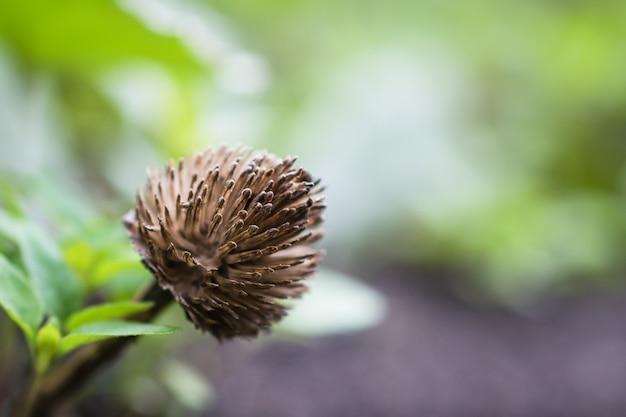 Fiore secco con semi-trifoglio nel campo su un verde