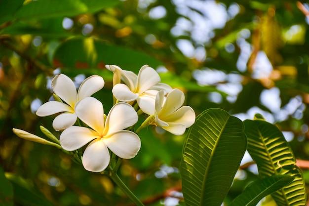 Fiore tropicale bianco del frangipane, fiore di plumeria che fiorisce sull'albero, fiore della stazione termale