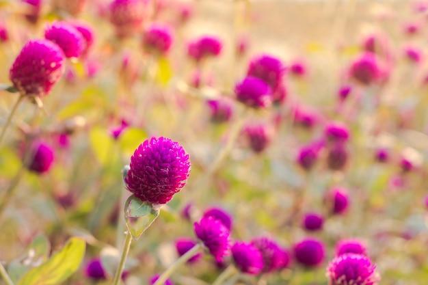 Fiore viola dell'amaranto nel giardino con luce solare giusta