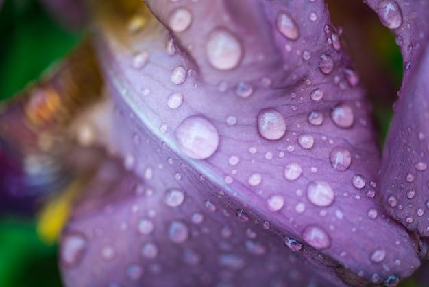 Fiore viola dell'iride con il colpo di macro delle goccioline di acqua