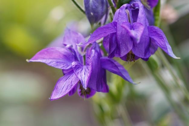 Fiore viola di aquilegia (colombina) su un fondo vago verde.