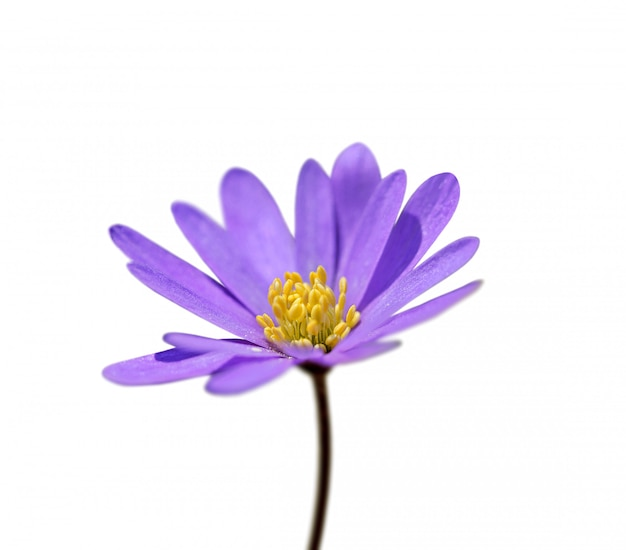 Fiore viola isolato su sfondo bianco