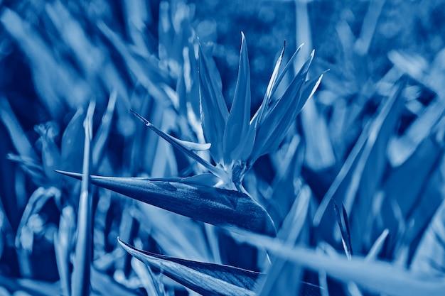 Fiore vivido di bird of paradise o strelitzia reginae in classico blu