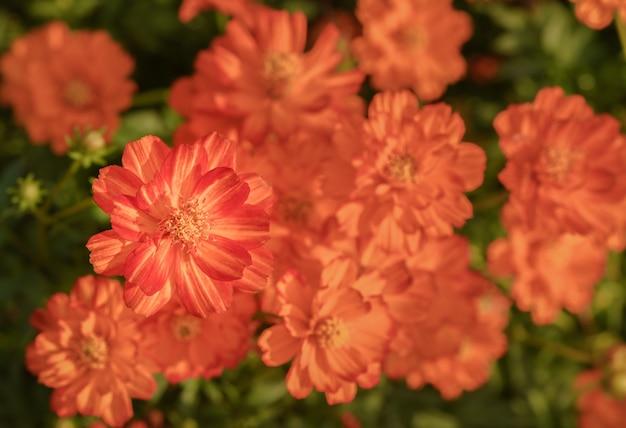 Fiori arancio cosmi dell'universo in giardino, vista dall'alto