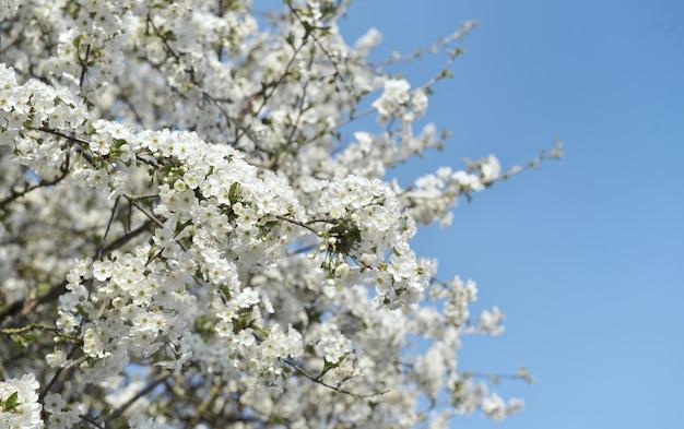 Fiori bianchi che fioriscono sui rami di un albero nella primavera su cielo blu