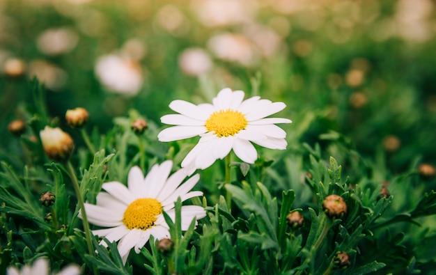 Fiori bianchi della camomilla nel giardino di primavera
