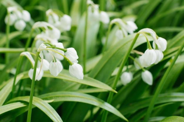 Fiori bianchi di allium paradoxum in primavera nel primo piano della foresta