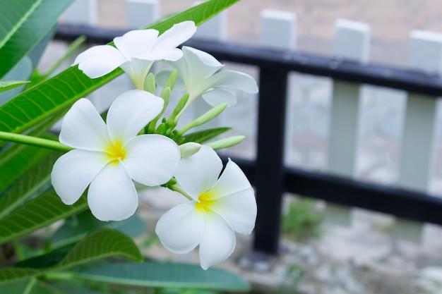 Fiori bianchi e gialli del frangipane con le foglie nel fondo. plumeria