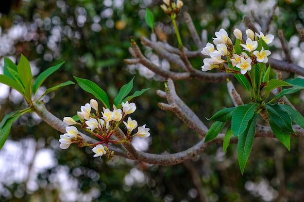 Fiori bianchi e gialli del frangipane
