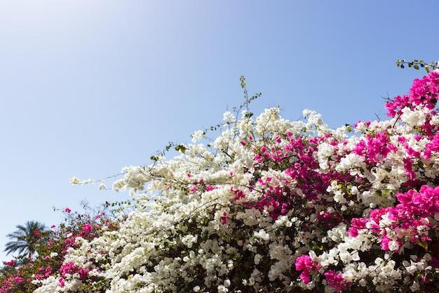 Fiori bianchi e rosa della buganvillea