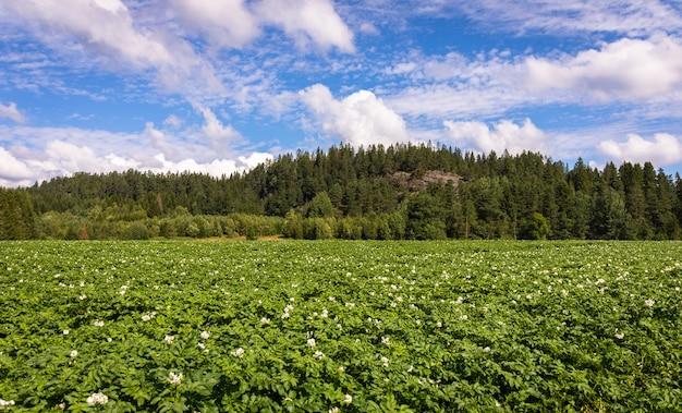 Fiori bianchi sulle piante di patate con la foresta