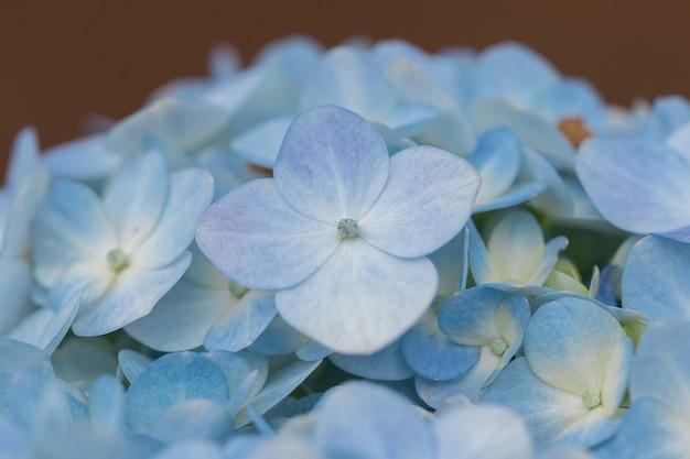 Fiori blu dell'ortensia che fioriscono in un giardino.