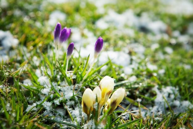Fiori che crescono nella neve