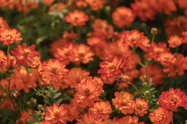 Fiori cosmo arancio cosmo in giardino,