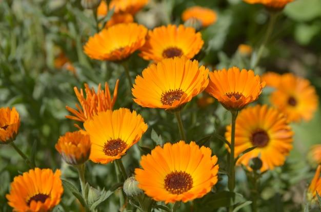 Fiori d'arancio (calendula)