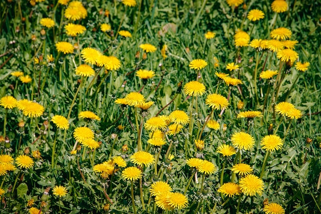 Fiori d'estate giallo dandelions. fiori luminosi e soleggiati