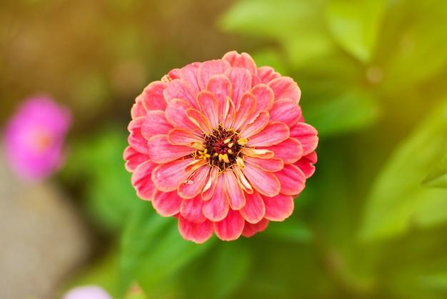 Fiori da giardino colorati rosa zinnia.