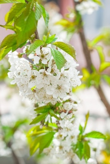 Fiori dei fiori di ciliegio