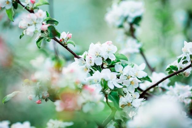 Fiori del ramo di melo sbocciante un giorno di molla