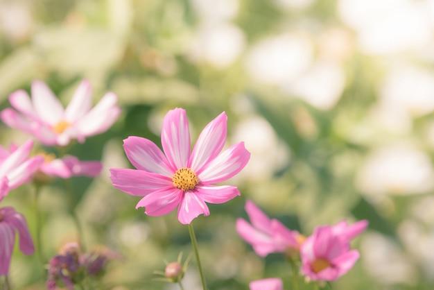 Fiori dell'universo nel giardino con luce solare. tono vintage
