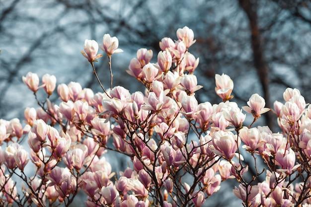 Fiori della magnolia nel tempo di primavera