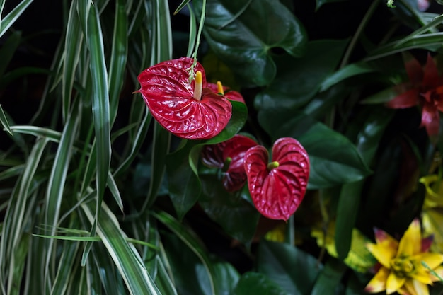 Fiori di anthurium su uno sfondo di lussureggianti verdi tropicali