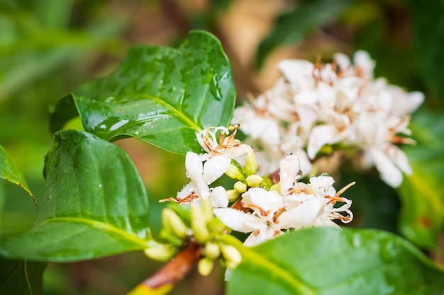 Fiori di caffè bianco in piantagione di alberi di foglie verdi da vicino