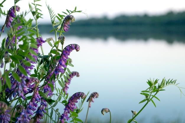 Fiori di campo blu nel fiume.