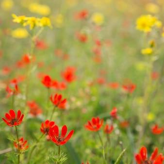 Fiori di campo rossi