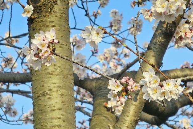 Fiori di ciliegio bianchi con grande albero e cielo blu nel giardino.