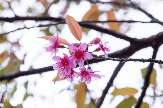 Fiori di ciliegio in fiore, fiori di sakura sulla natura