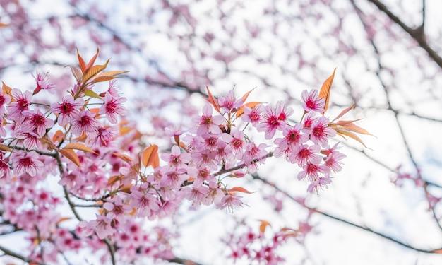 Fiori di ciliegio in thailandia