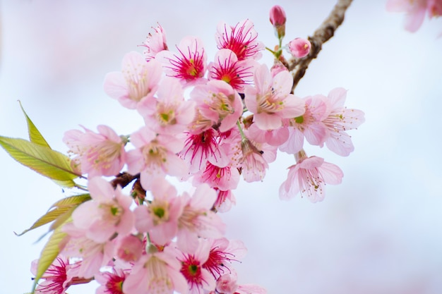 Fiori di ciliegio, sakura fiori sfondo