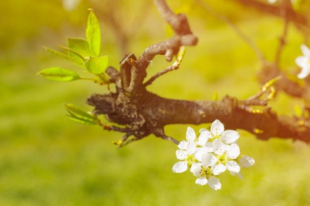 Fiori di ciliegio su sfondo sfocato di natura