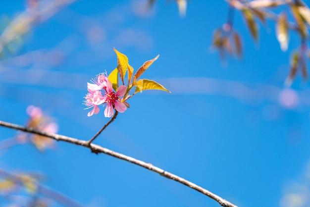 Fiori di ciliegio sull'albero