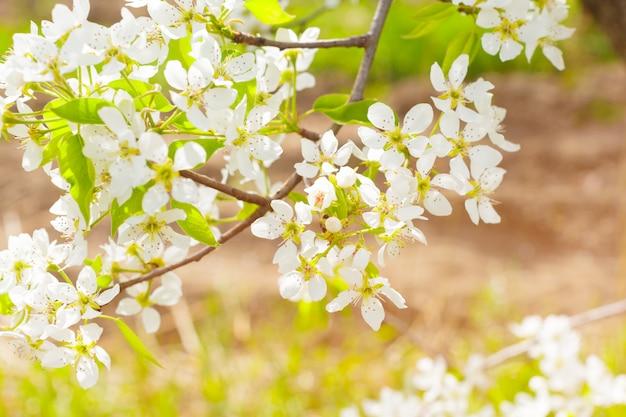 Fiori di ciliegio sulla natura offuscata
