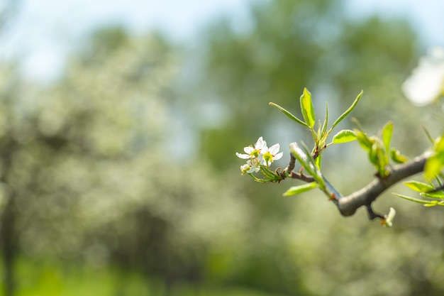 Fiori di ciliegio sulla natura sfocata