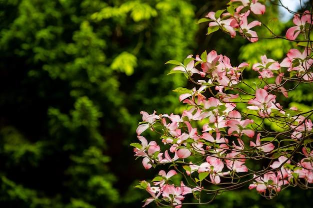 Fiori di cornus florida nel giorno di primavera nel parco di pruhonice vicino a praga, repubblica ceca